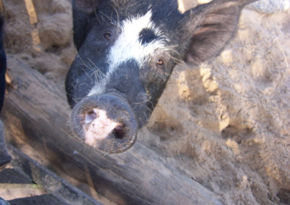 Berkshire Pig | Oakvale Wildlife