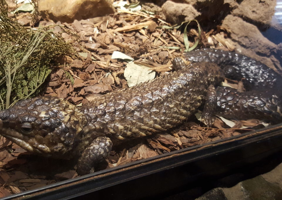 Shingleback Lizard | Oakvale Wildlife