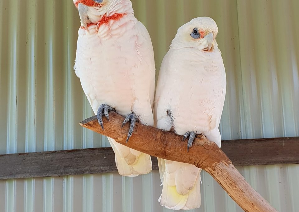 Short-Billed Corella | Oakvale Wildlife