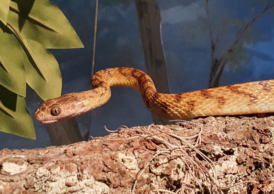 Brown Tree Snake | Oakvale Wildlife