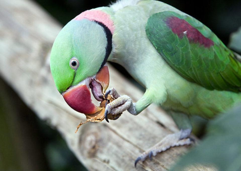 Alexandrine Parrot | Oakvale Wildlife
