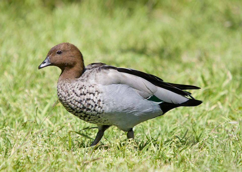 Australian Wood Duck | Oakvale Wildlife