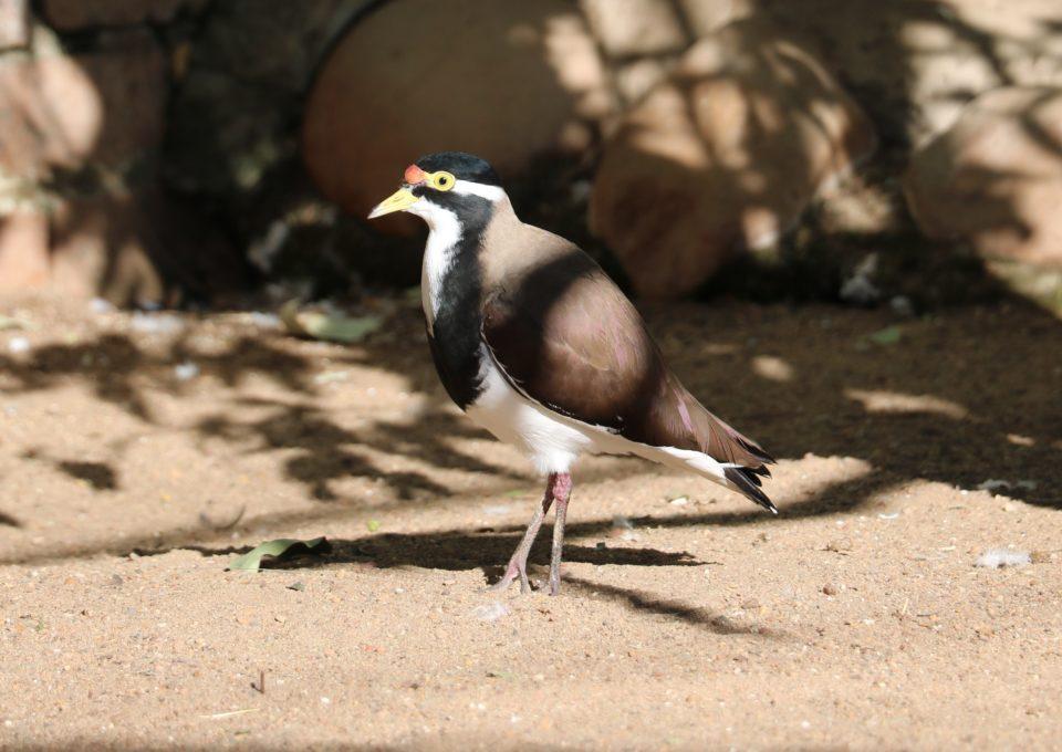 Banded Lapwing | Oakvale Wildlife