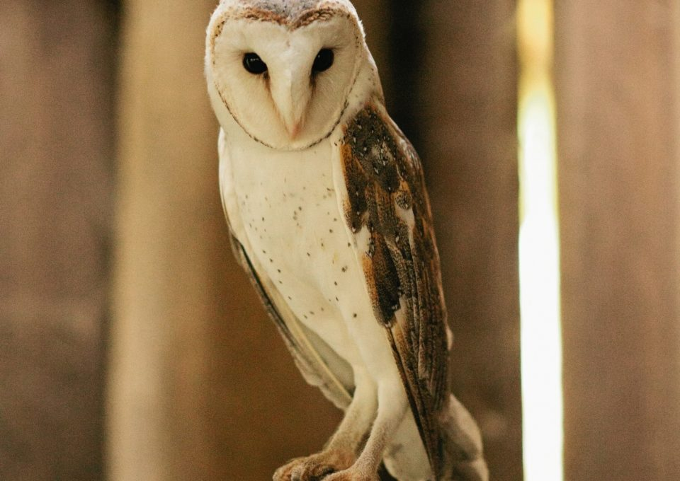 Barn Owl | Oakvale Wildlife