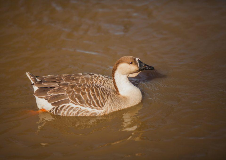Brown Chinese Goose | Oakvale Wildlife