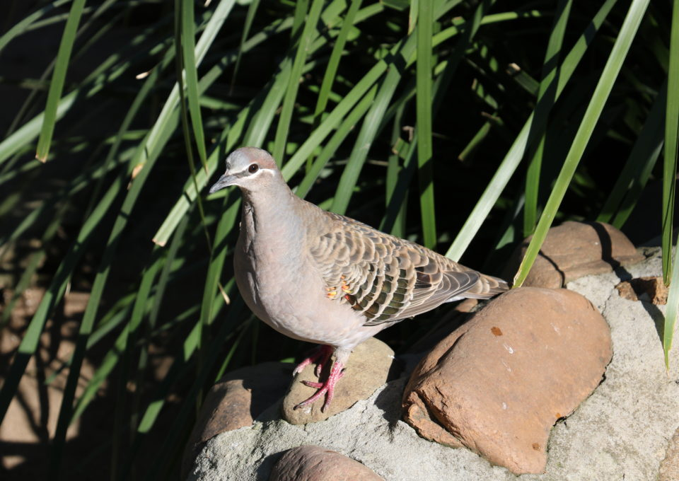 Common Bronzewing | Oakvale Wildlife