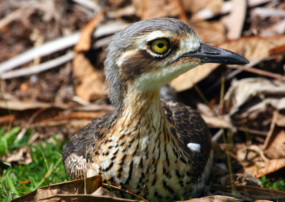 Bush Stone-Curlew | Oakvale Wildlife