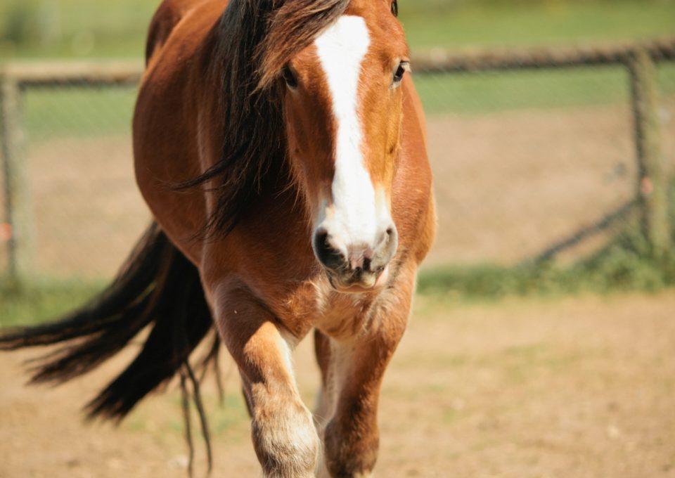 Draught Horse | Oakvale Wildlife