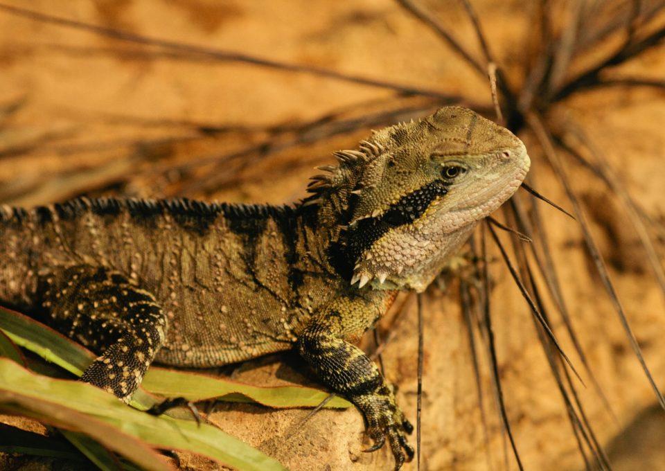 Eastern Water Dragon | Oakvale Wildlife