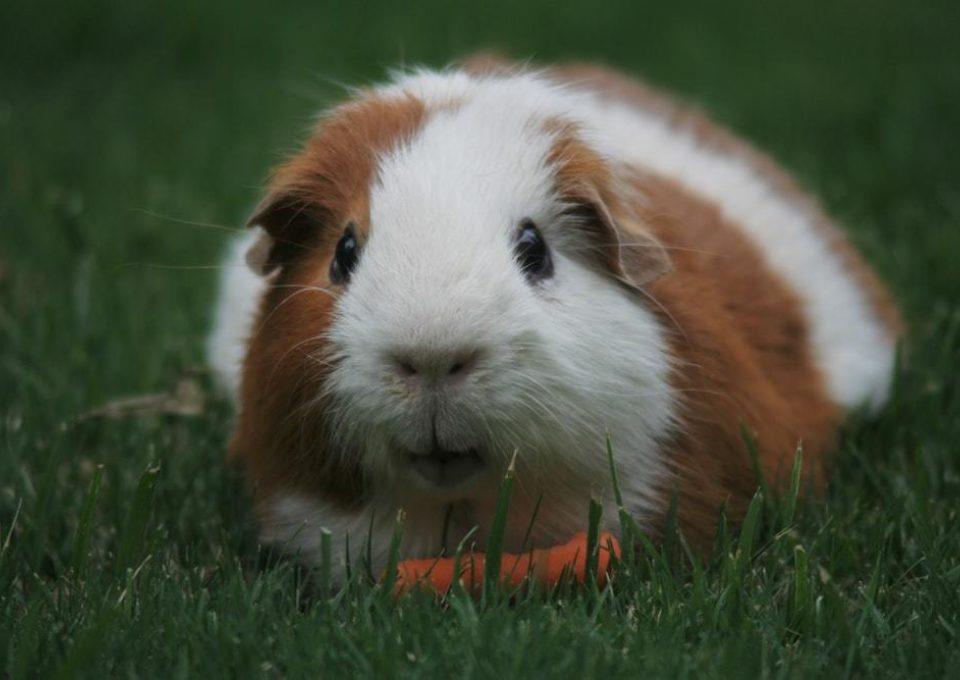 Guinea Pig | Oakvale Wildlife