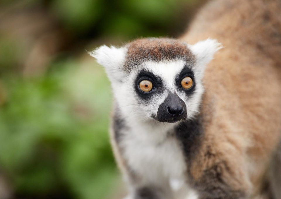 Ring-tailed Lemur | Oakvale Wildlife