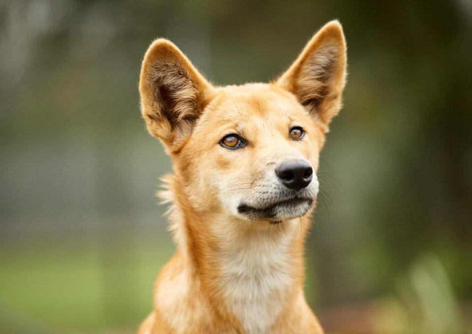 Dingo | Oakvale Wildlife