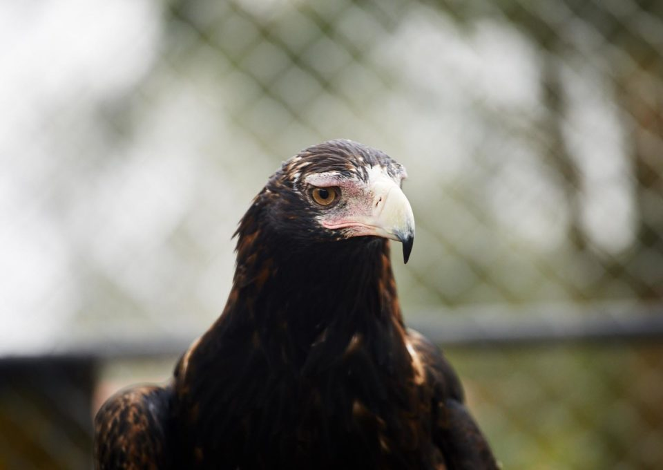 Wedge Tailed Eagle | Oakvale Wildlife