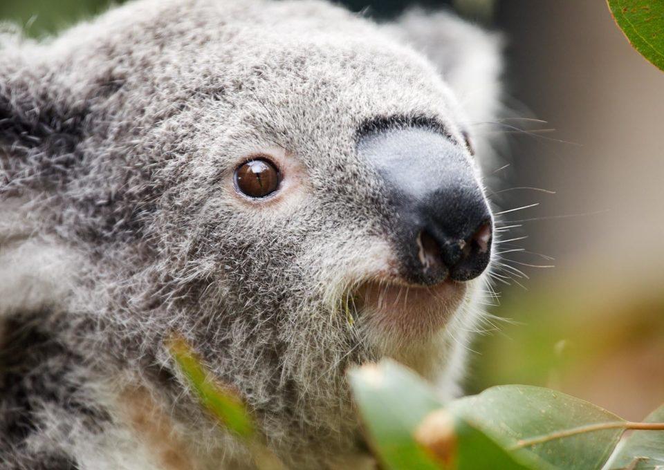 Koala | Oakvale Wildlife
