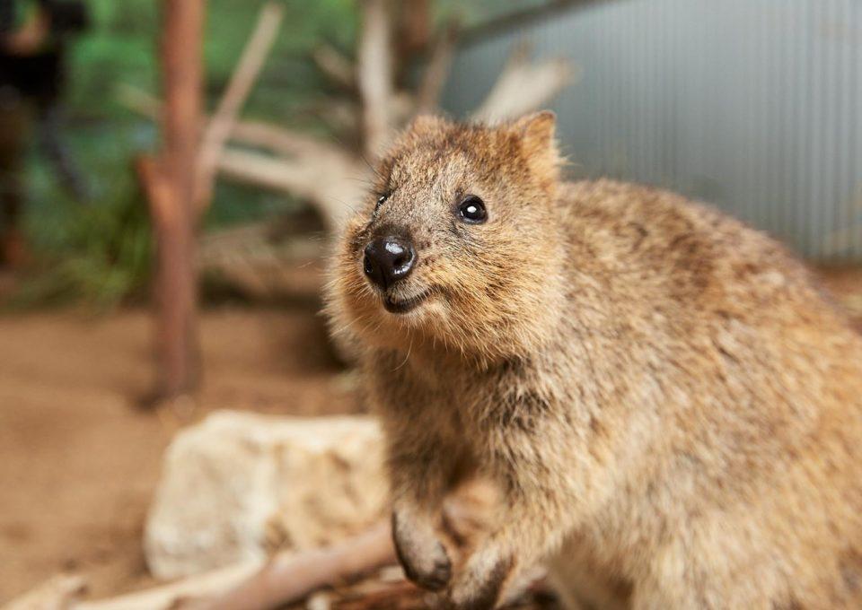 Quokka | Oakvale Wildlife
