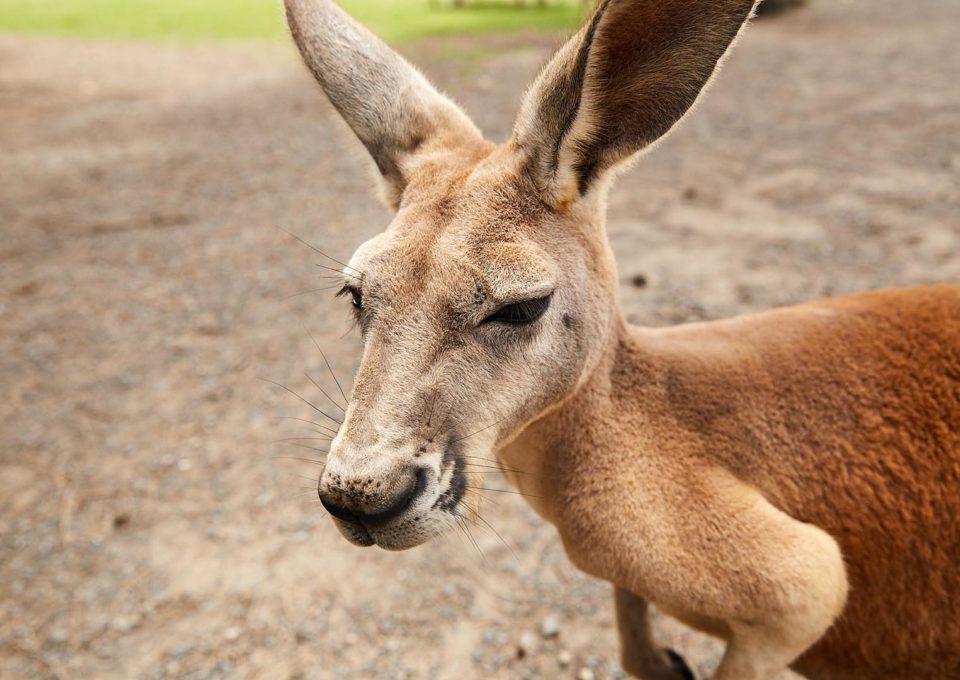 Red Kangaroo | Oakvale Wildlife