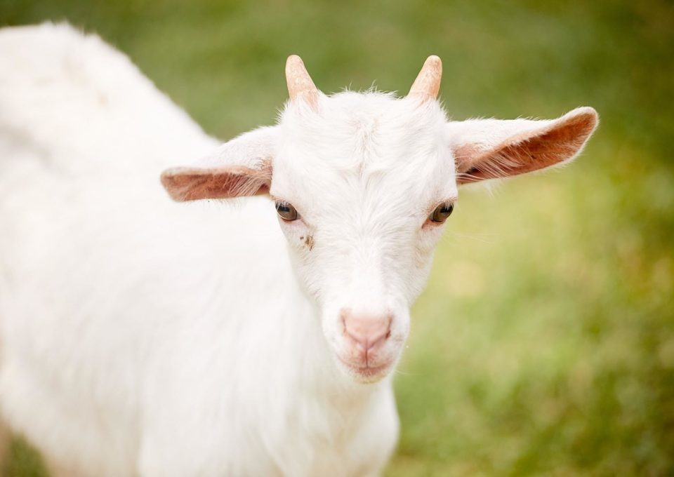 Domestic Goat | Oakvale Wildlife