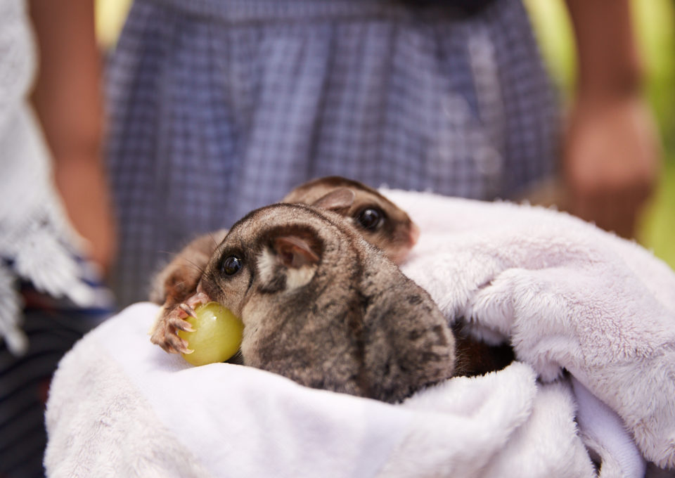 Sugar Glider | Oakvale Wildlife