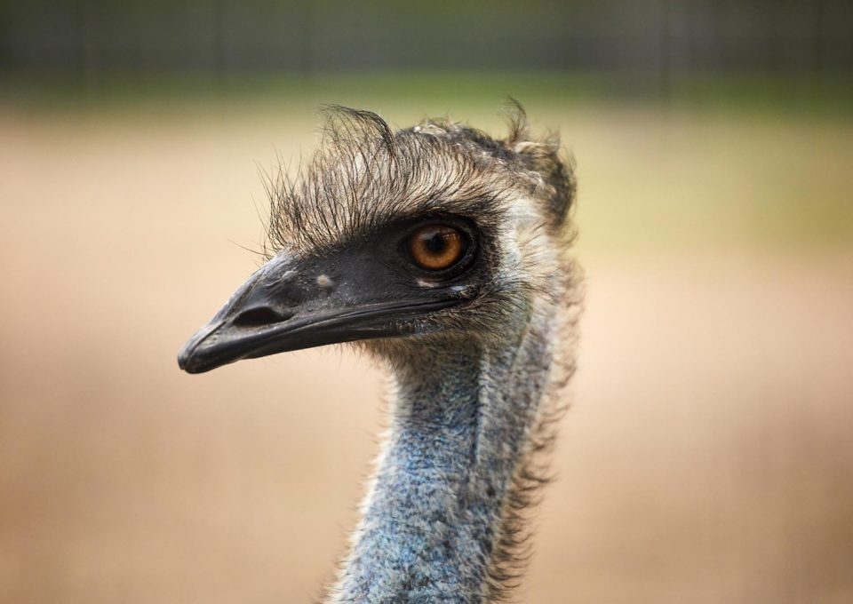 Emu | Oakvale Wildlife