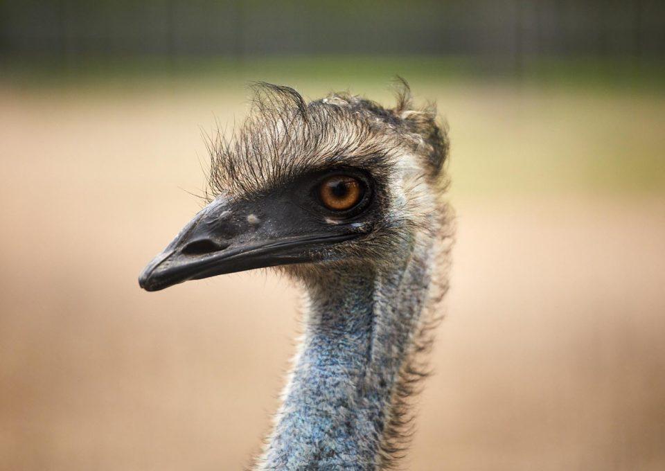 Emu | Oakvale Wildlife