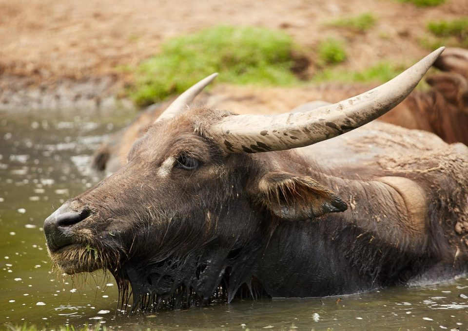 Water Buffalo | Oakvale Wildlife