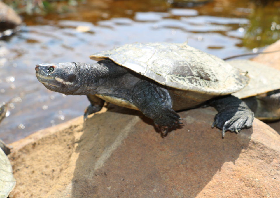 Murray River Turtle | Oakvale Wildlife