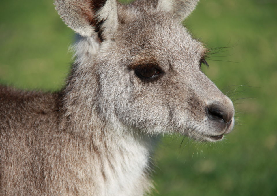 Eastern Grey Kangaroo | Oakvale Wildlife