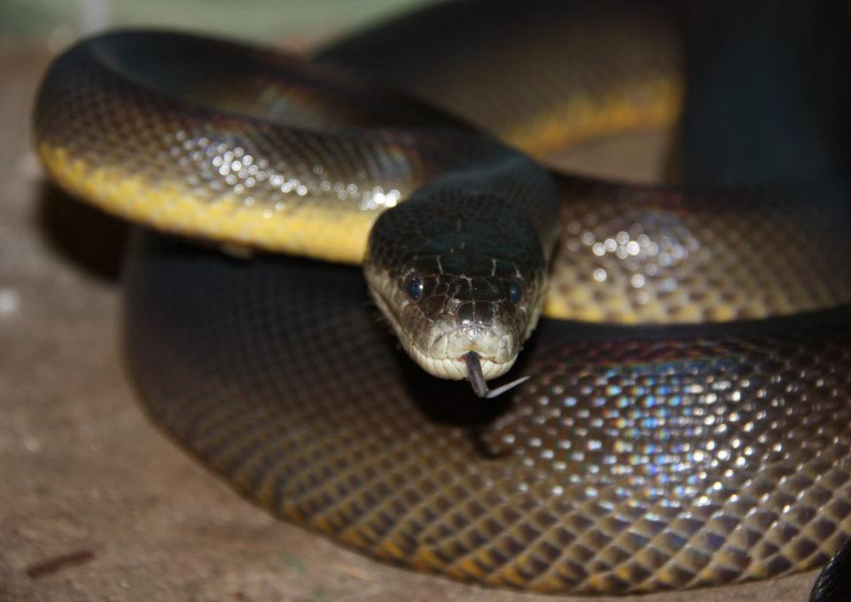 Water Python | Oakvale Wildlife