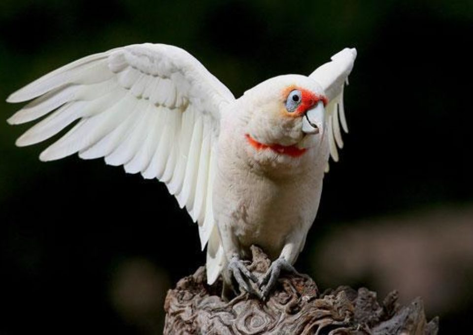 Long-Billed Corella | Oakvale Wildlife