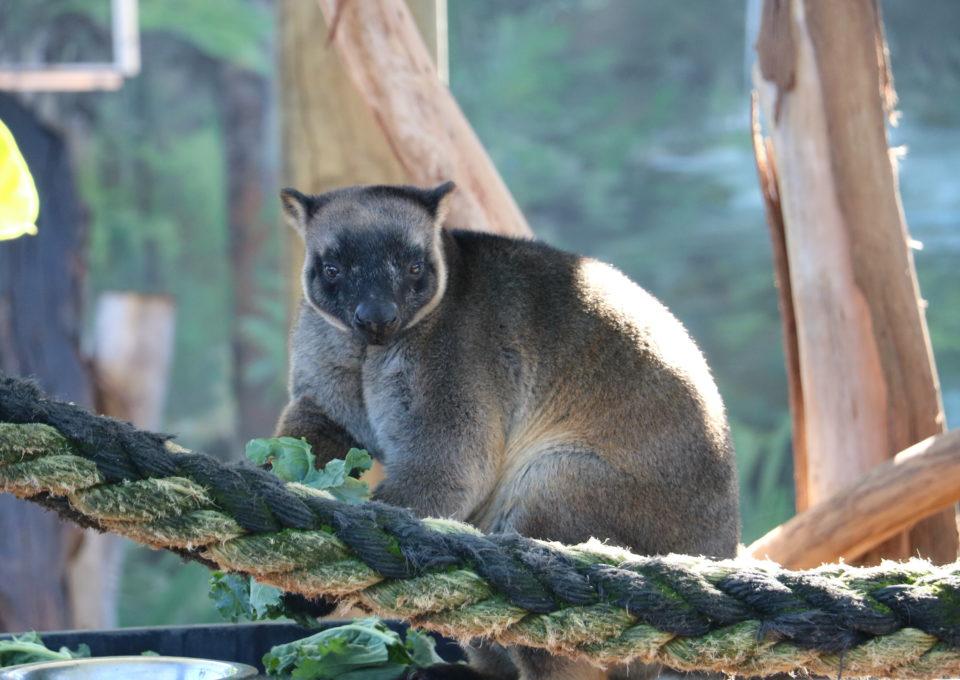 Lumholtz Tree Kangaroo | Oakvale Wildlife