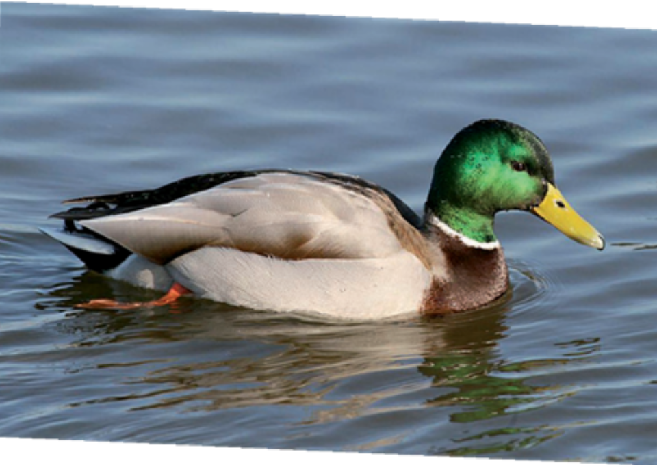 Mallard Duck | Oakvale Wildlife