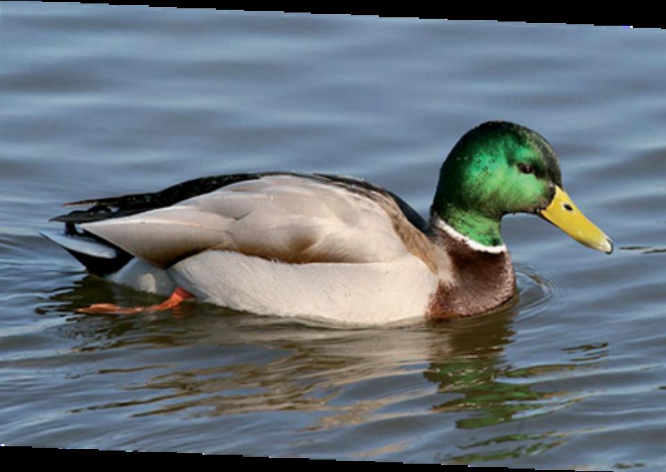 Mallard Duck | Oakvale Wildlife