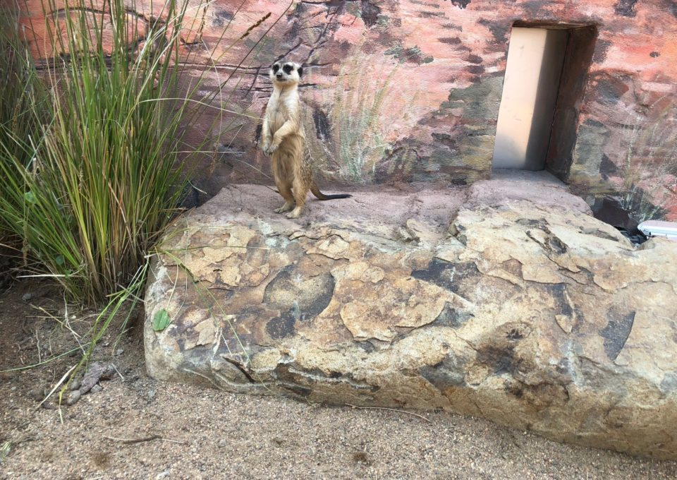 Meerkat | Oakvale Wildlife