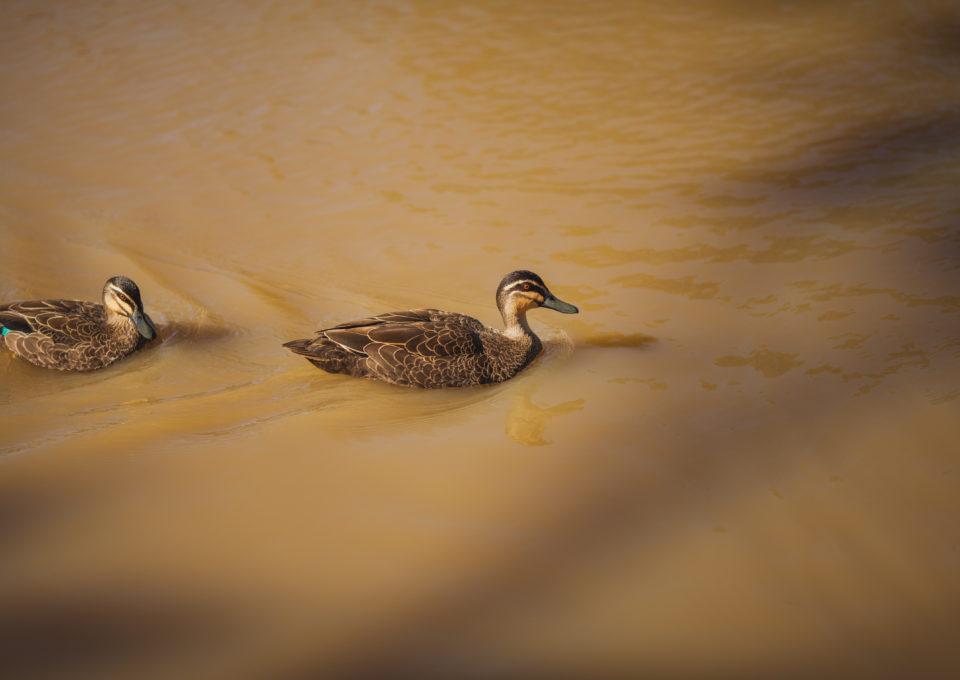 Pacific Black Duck | Oakvale Wildlife