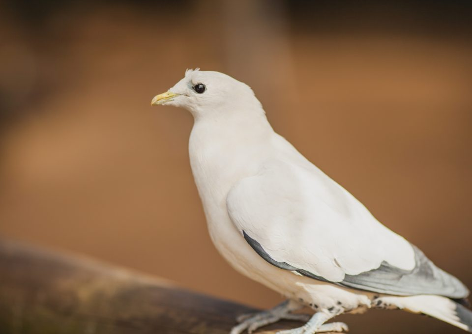 Pied Imperial Pigeon | Oakvale Wildlife
