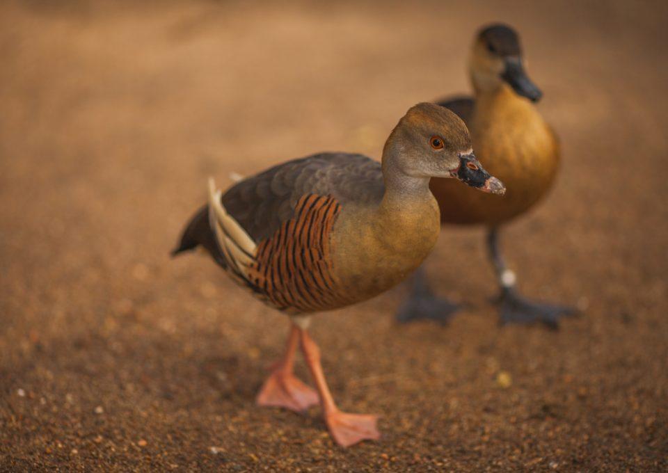 Plumed Whistling Duck | Oakvale Wildlife