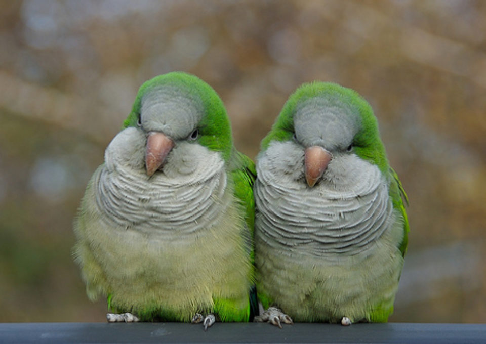 Quaker Parrot | Oakvale Wildlife