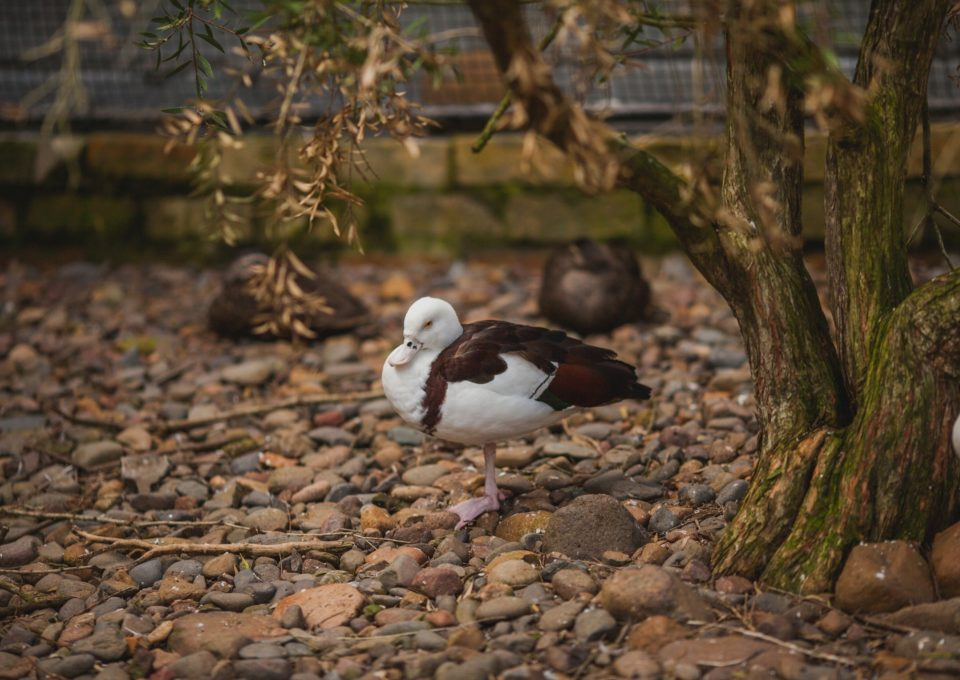 Radjah Shelduck | Oakvale Wildlife