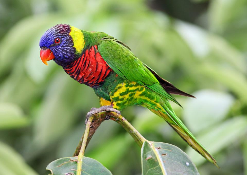 Rainbow Lorikeet | Oakvale Wildlife
