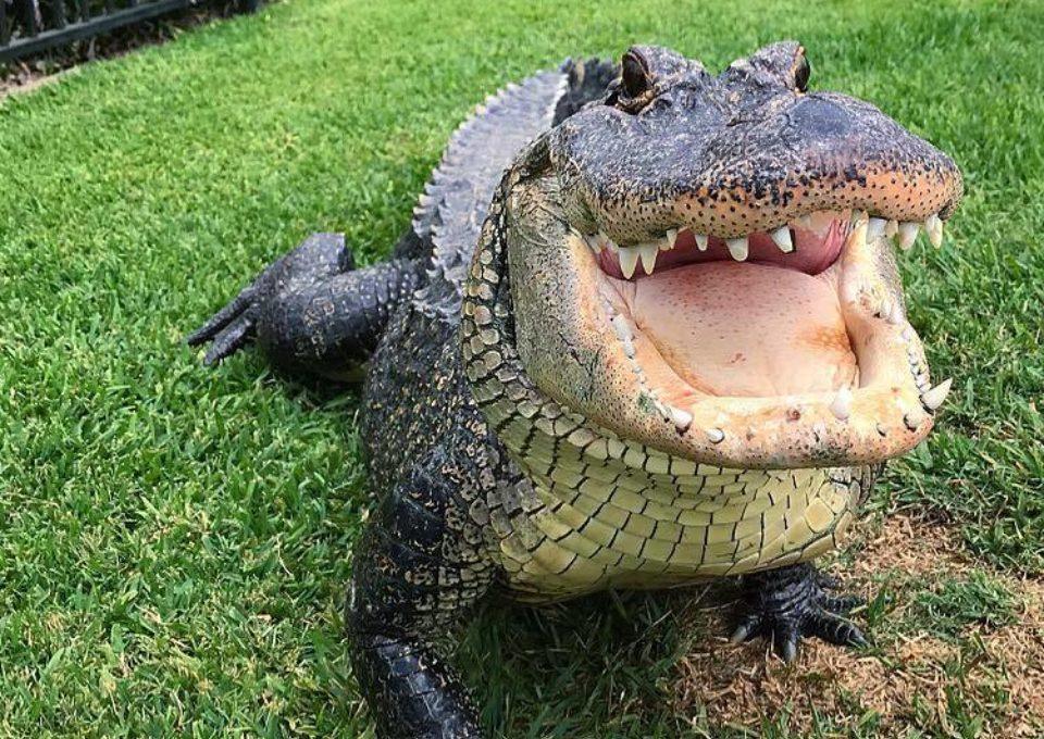 American Alligator | Oakvale Wildlife