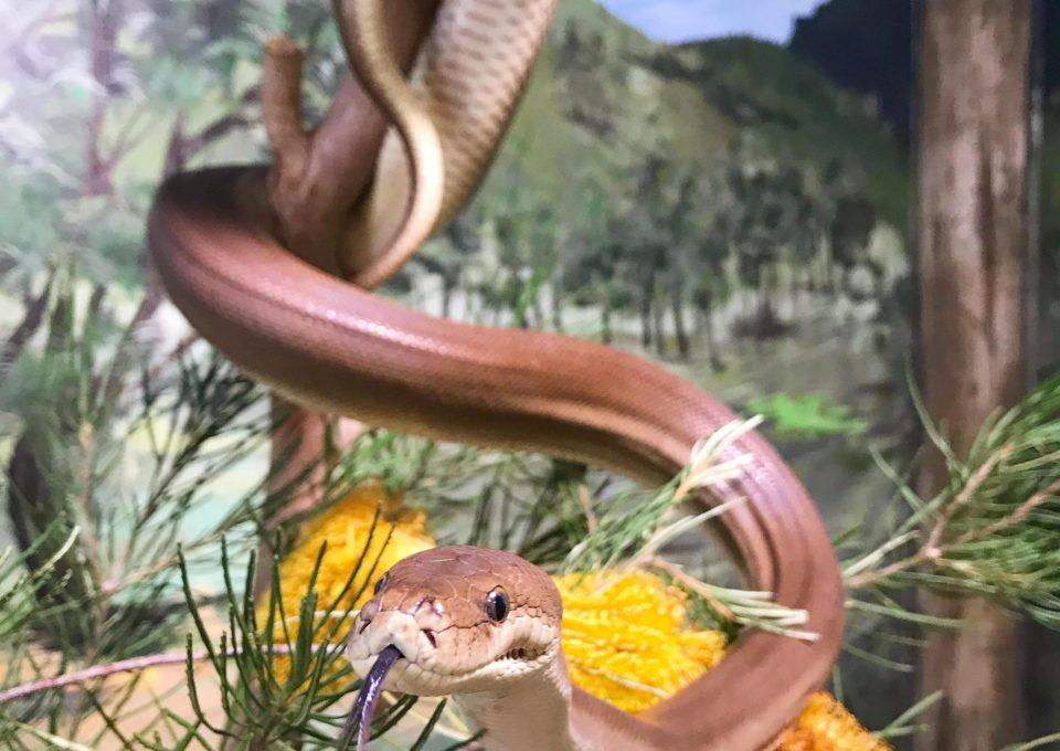Olive Python | Oakvale Wildlife
