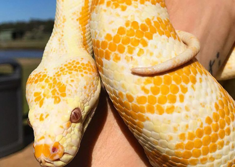Albino Darwin Carpet Python | Oakvale Wildlife