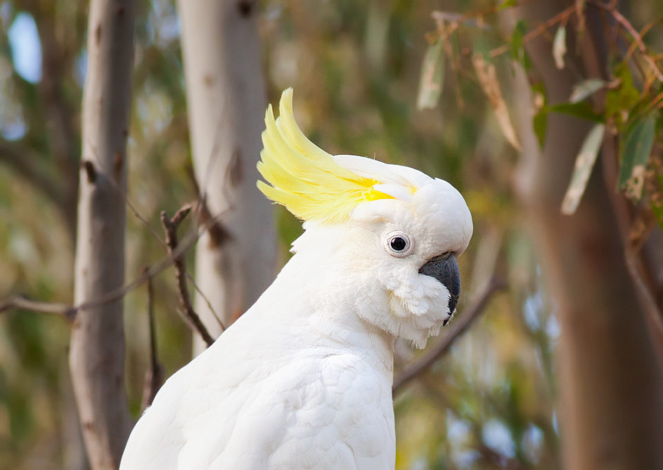 Sulphur Crested Cockatoo | Oakvale Wildlife