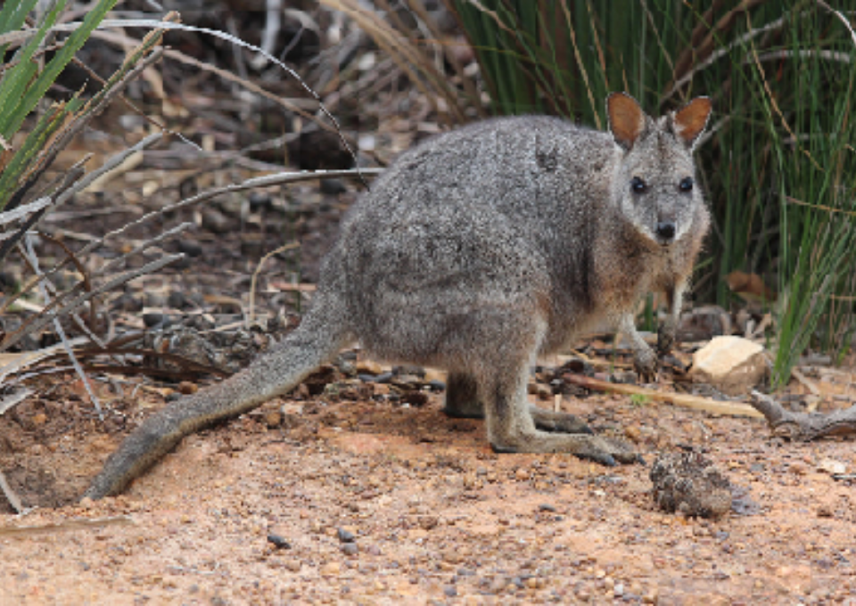 Tammar Wallaby | Oakvale Wildlife