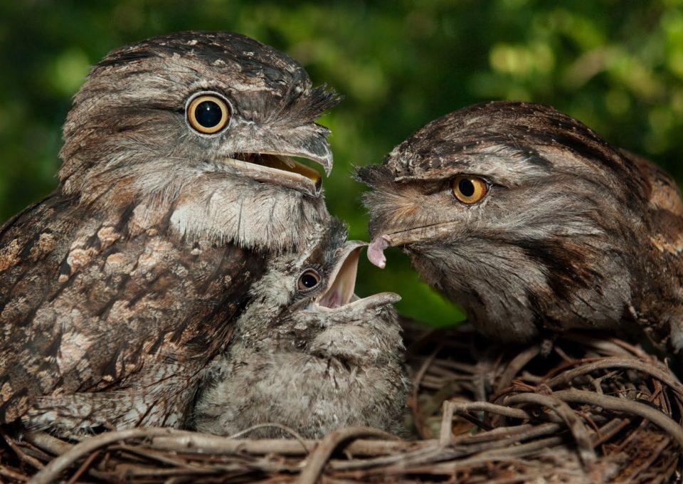 Tawny Frogmouth | Oakvale Wildlife