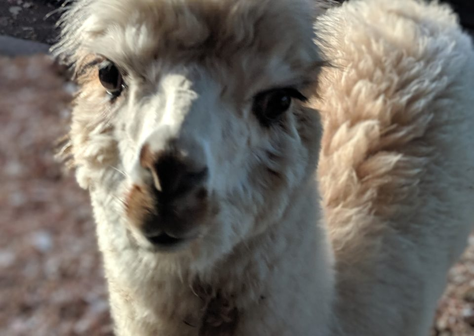 Alpaca | Oakvale Wildlife