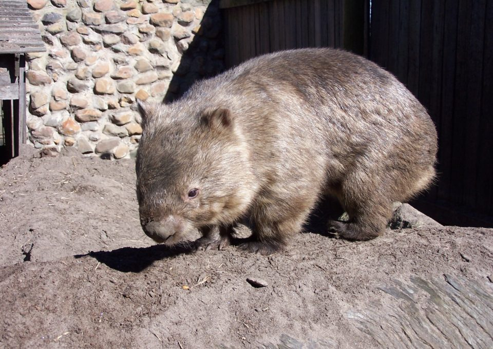 Common Wombat | Oakvale Wildlife