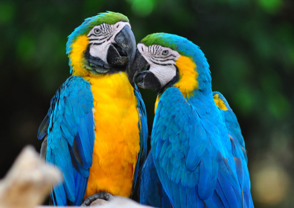 Blue & Gold Macaw | Oakvale Wildlife