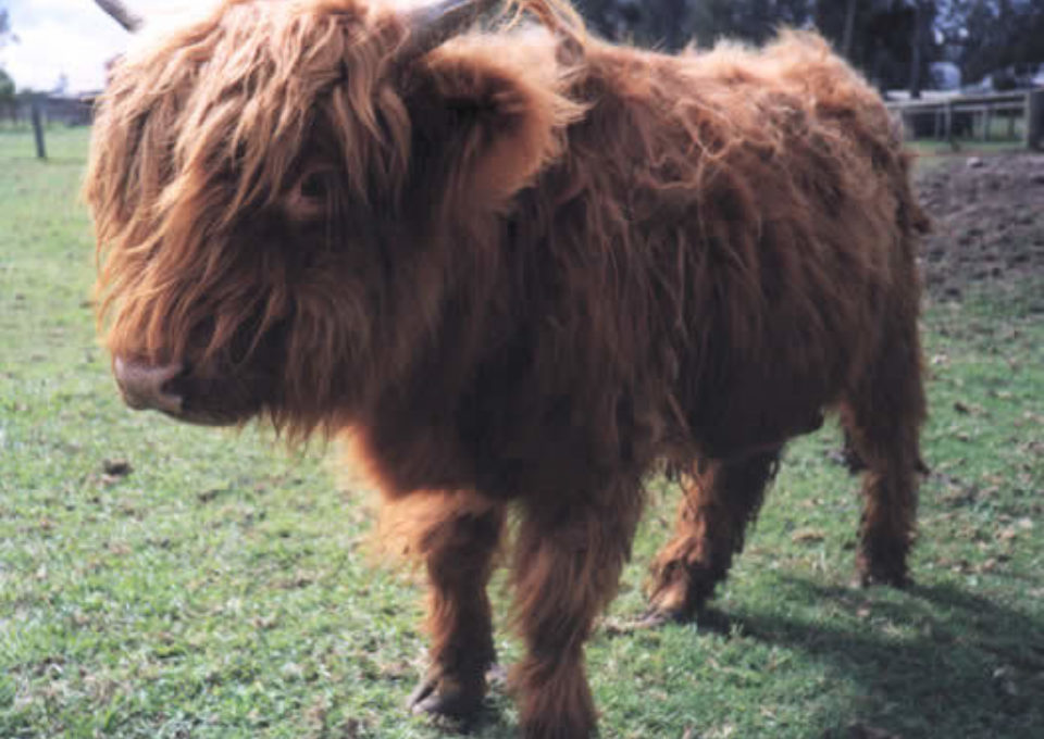 Highland Cow | Oakvale Wildlife
