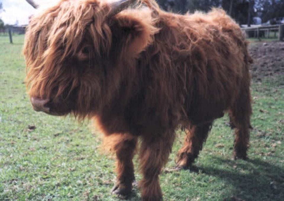 Highland Cow | Oakvale Wildlife